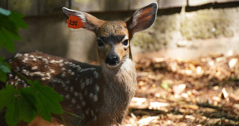 Black-tailed-Deer-06102015-JM-(1)-KS-resize-edit