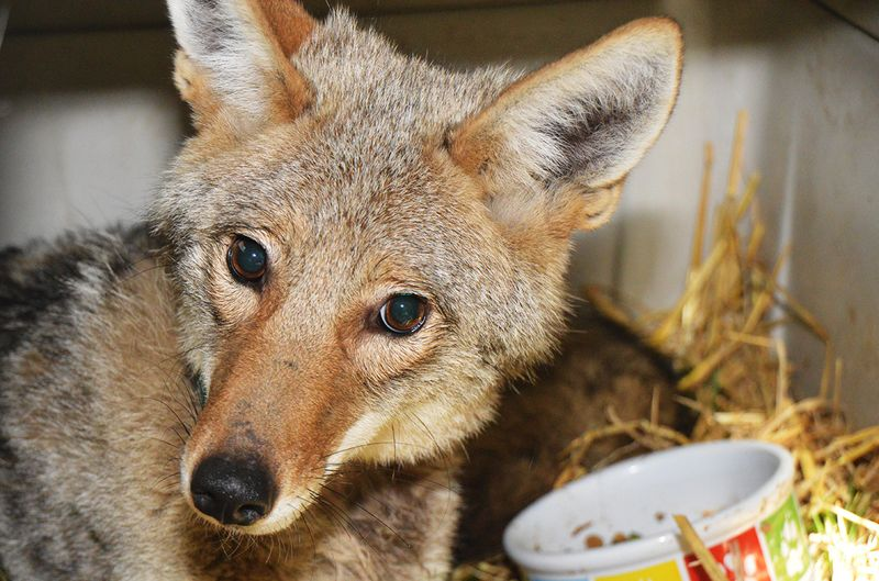 Coyote 151284 06162015 (1)
