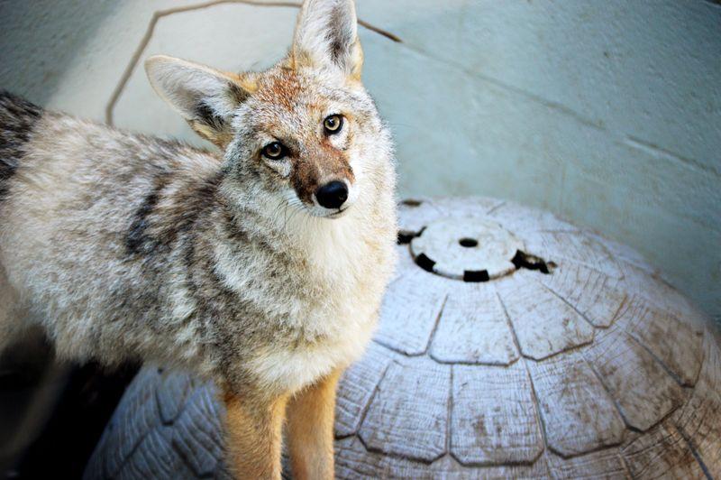 Coyote-older