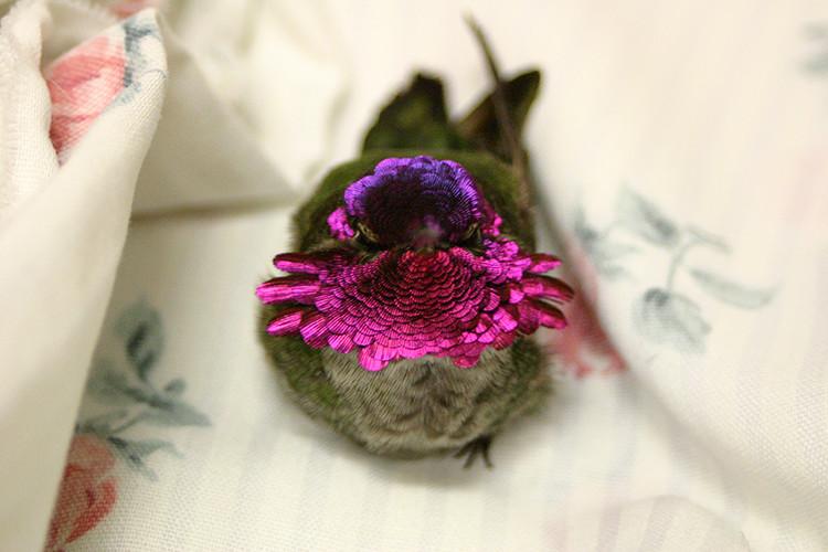 750 Anna's Hummingbird M 021706 KM