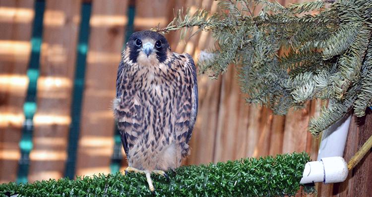 750 Peregrine Falcon