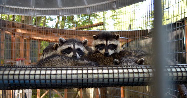750 Raccoons 06282016JM