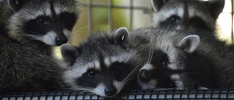 Raccoons1_101316