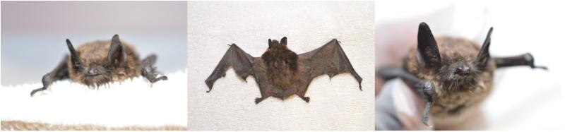 PAWS WNS bat