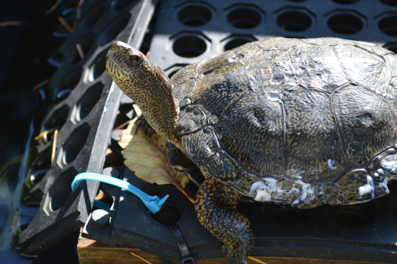 Western Pond Turtles 10012015 JM (16)