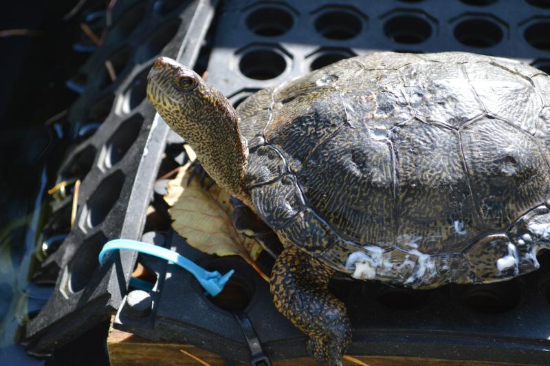 Western Pond Turtles 10012015 JM (16)