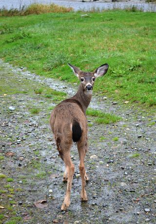 Black-tail-Deer-Release-11062014-JM-KS-web-resize