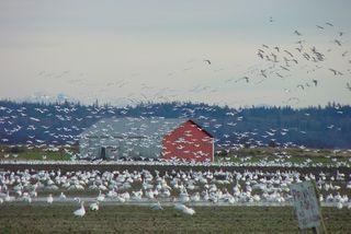 Snow goose flock11