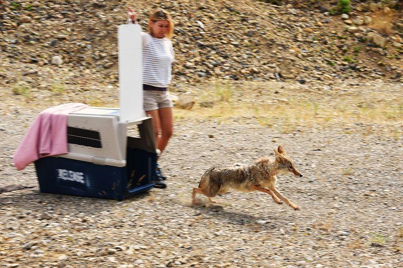 Coyote Release 08042015 JM (1)