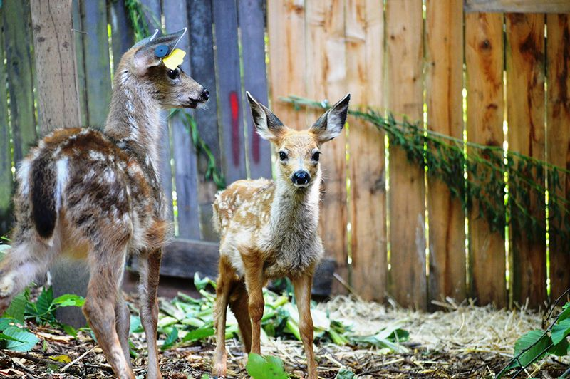 Black Tailed Deer young