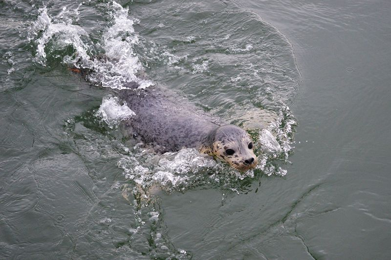 Harbor-Seal-152200-release-JM-(2)