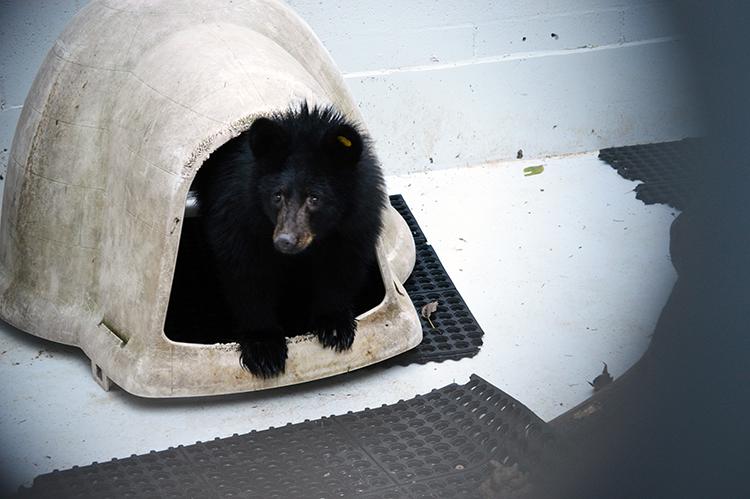 750 px American Black Bear 154038 11242015