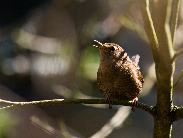 Pacific Wren, PAWS Campus 040412 KM