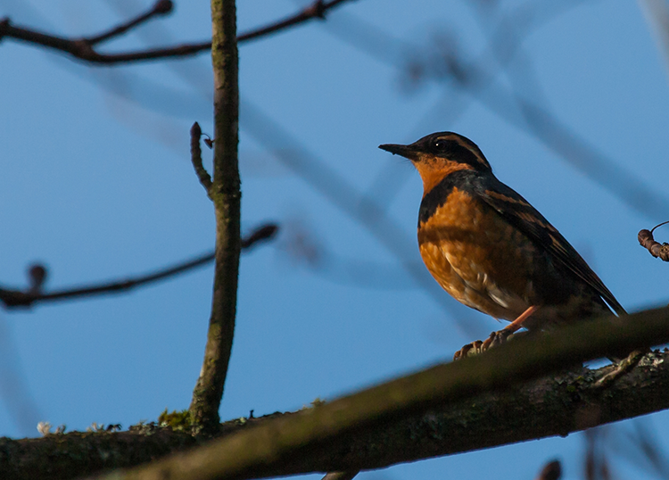 Varied Thrush, PAWS Campus 020713 KM-21