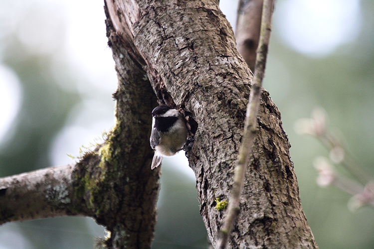 750 Black-capped Chickadees nesting, PAWS Campus