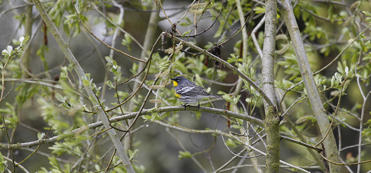750 Yellow-rumped Warbler, PAWS Campus 041908 KM (2)