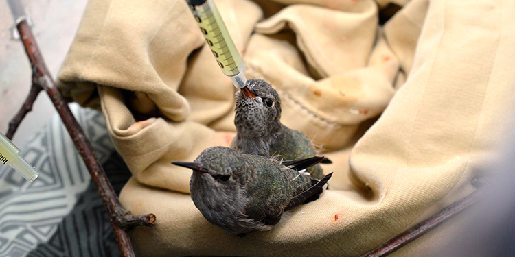 Baby Anna's Hummingbirds being fed