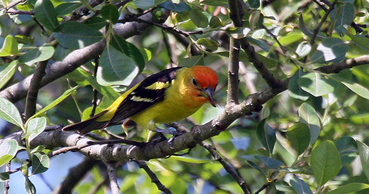 750 Western Tanager