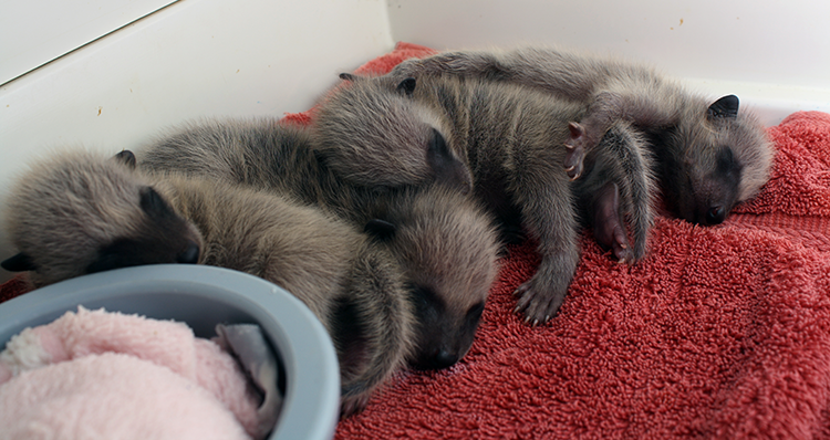 750 Infant Raccoons in incubator 041211 KM (6)