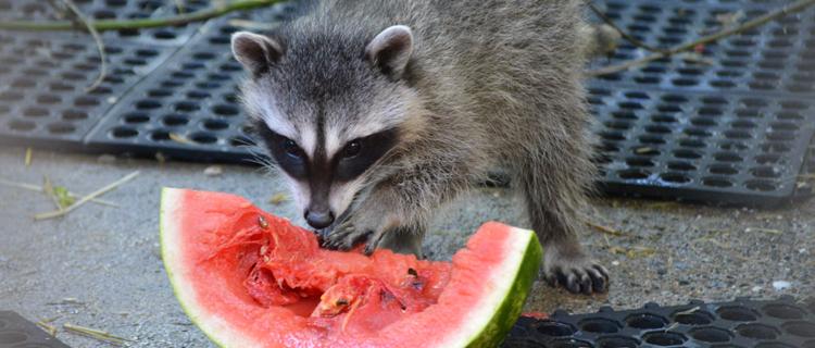 Raccoons2_101316