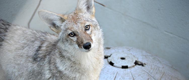 Coyotes 08182015 JM (10)_crop