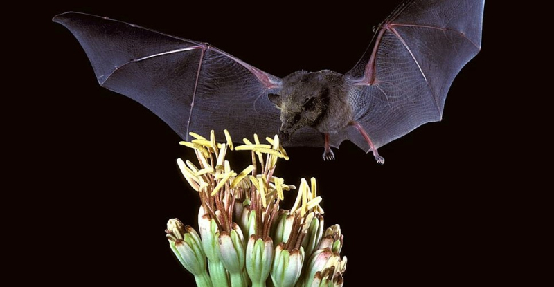 Choeronycteris_mexicana _Mexican_long-tongued_bat_(7371567444)