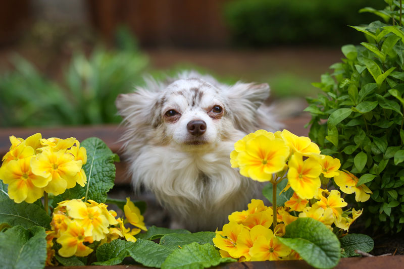 Samson-flowers